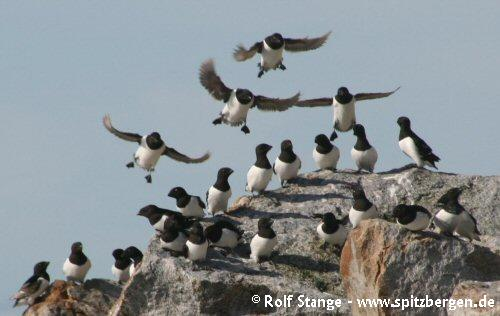 Little auks, Fuglesongen