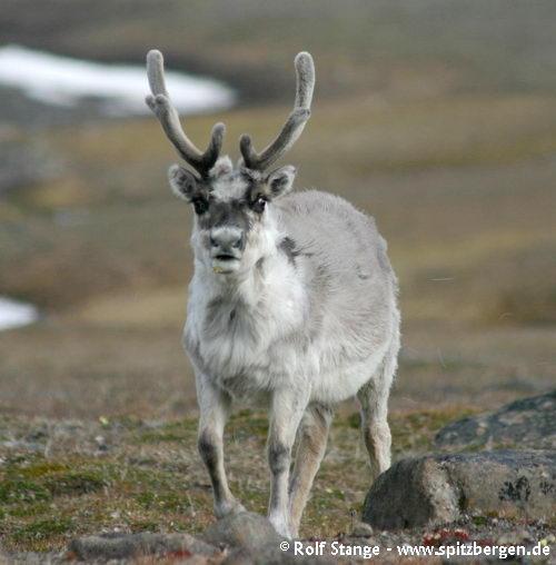 Svalbard reindeer, Barentsøya