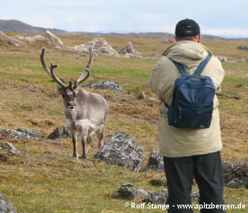 Svalbard Reindeer, Alkhornet