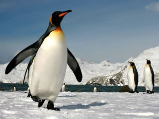 King Penguins in South Georgia ...