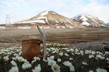 Longyearbyen, flowering Mountain avens and my arctic mug