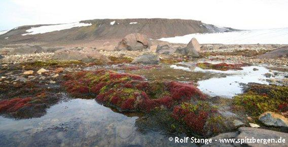 Colourful mosses in a little riverbed (Augustabukta). The red colouration is a sign for malnutrition