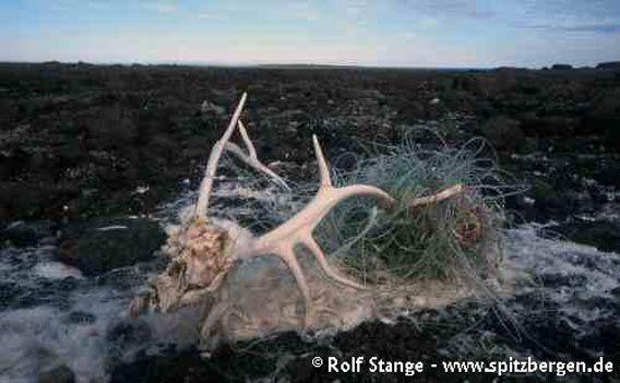 In Netz verwickelter Kadaver eines Rentiers auf der Lågøya