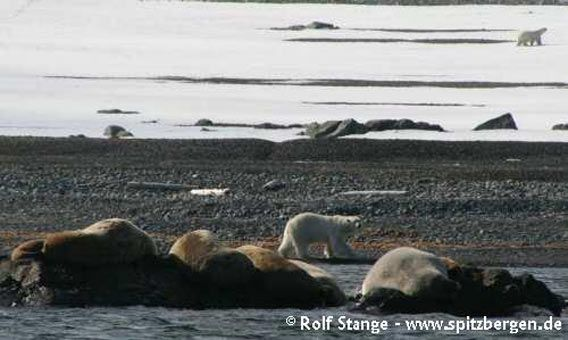 Eisbär und Walrosse, Storøya