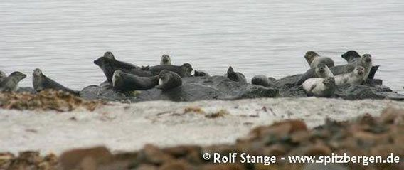 Harbour seals at Prins Karls Forland