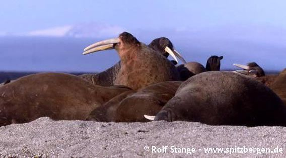 Inhabitants of Hinlopen Strait II: walrusses on Nordaustland