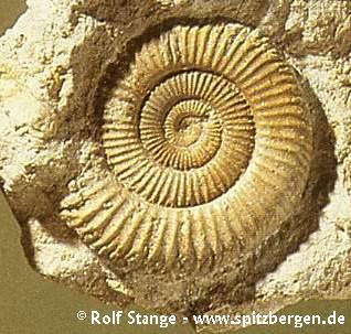 Ammonite (Jurassic)