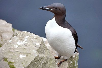 Brunich's guillemot on the Norwegian Red List - Fugleodden