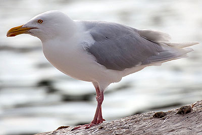 "High levels of environmental toxins in Glaucous gulls -></noscript> Glaucous gull"" title=""High levels of environmental toxins in Glaucous gulls -> Glaucous gull"" width=""400″ height=""267″ class=""size-full wp-image-8579″ /></p> </div> <p>Source: <a href="