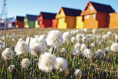 Drug abuse in Longyearbyen: Cottongrass, Longyearbyen
