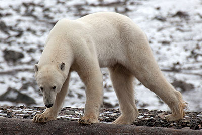 Polar bear attack in Tempelfjorden: case closed in Norway - Polar Bear, Duvefjord
