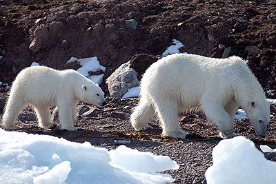 Species polar bear older than believed so far - Polar bear family, Spitsbergen