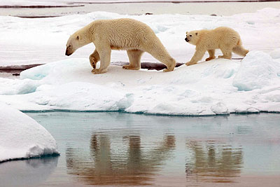 PCB-concentrations in polar bears on the decrease - Polar bears