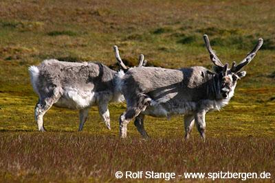 Spitzbergen-Rentiere.