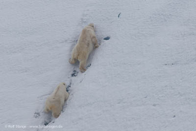Chasing polar bears with helicopter in the name of science - Polar bears at Nordenskjöldbreen