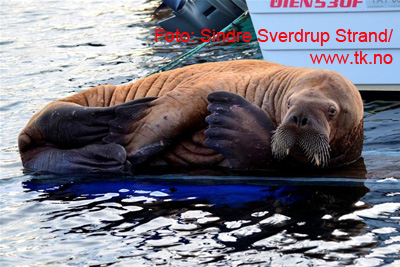 Walrus, Dalabukta, Kristiansund, Norway