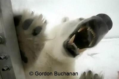 Eisbären-Angriff auf Gordon Buchanan