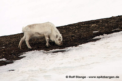 Climate change - Spitsbergen-reindeer in late winter