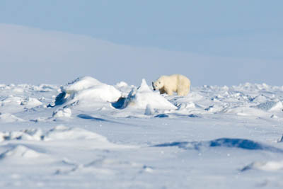 polar bear shot - polar bear on the east coast of Spitsbergen.