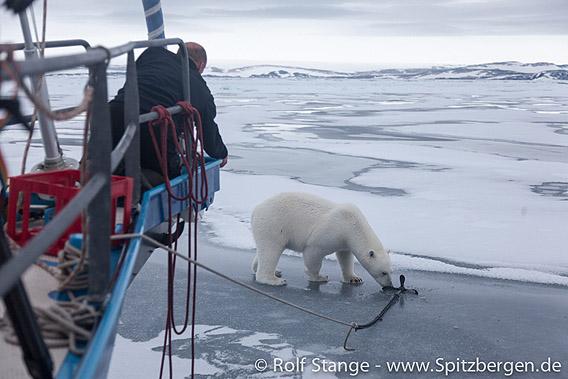 Eisbär an der Arctica I beim Nordaustland, 2010