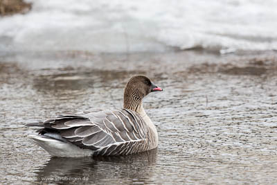 Ping-footed goose, Longyearbyen
