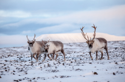 Reindeer population reached highest level