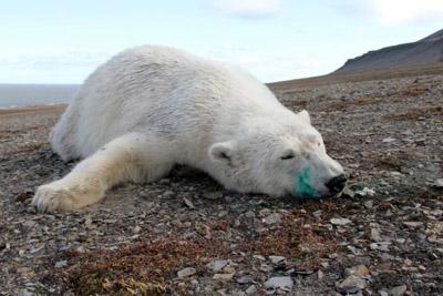 Eisbär, Meodden, Edgeøya