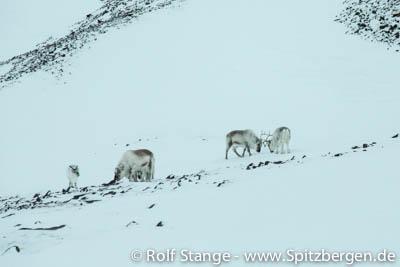 Rentiere, Spitzbergen
