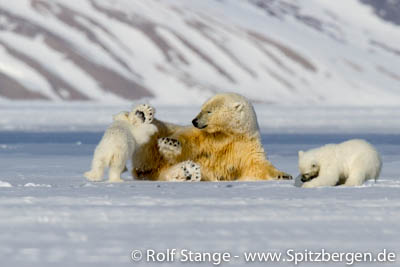 polar bear family in Tempelfjord