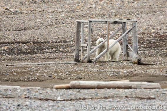 Hingstsletta: hytte med isbjørn