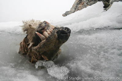 dead polar bear, Nordaustland