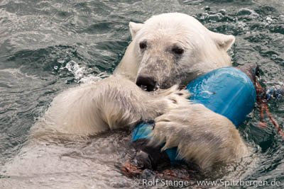 Eisbär Spitzbergen