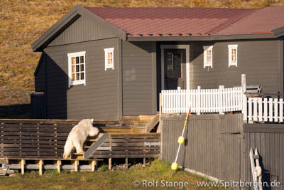 Polar bear in Hiorthhamn, near Longyearbyen