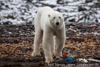 polar bear, Duvefjord
