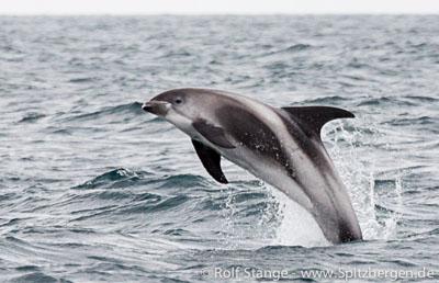 Weißschnauzendelfin