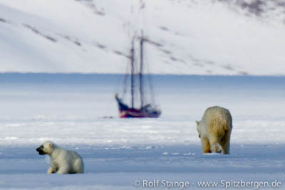 Noorderlicht as boat in the ice, Tempelfjord, with polar bears