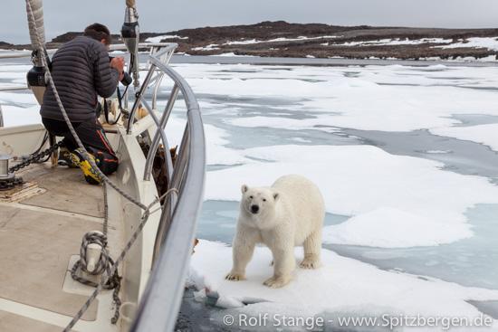 Eisbär an der Arctica II, 2014