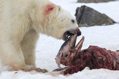 Polar bear eats dolphin