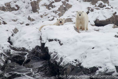 Spitsbergen: polar bear family