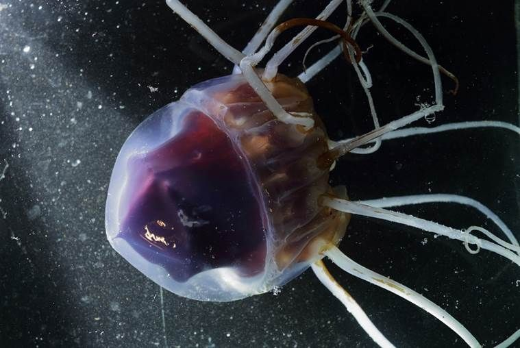 Helmet Jellyfish