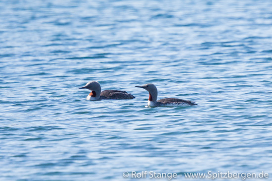 Two Red-throated divers