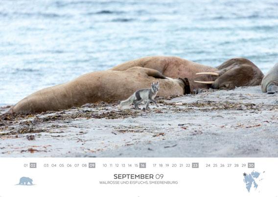 Spitzbergen-Kalender 2018: September. Walrusses and polar fox