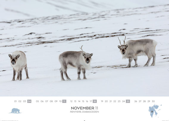 Spitsbergen-Calendar 2018: November. Reindeer