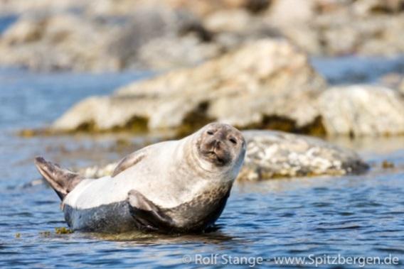 Seehund nimmt ein Sonnenbad