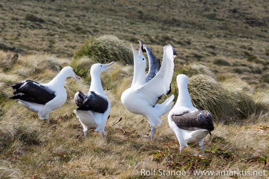 Albatrosses, Campbell Island