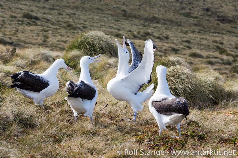 Albatrosse, Campbell Island