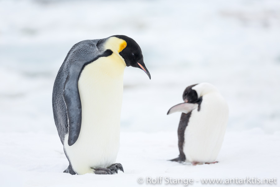 Emperor and Adelie penguin at Cape Hallet, Ross Sea, Antarctica