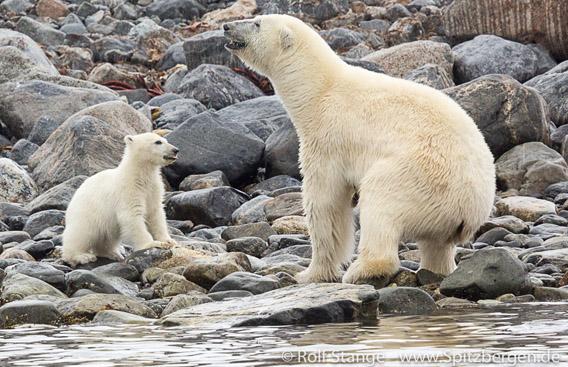 Polar bears, Danskøya