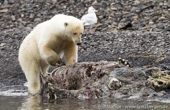 Eisbär, Edgeøya