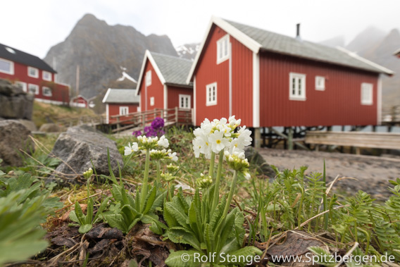 Colours of flowers and houses, Reine, Lofoten
